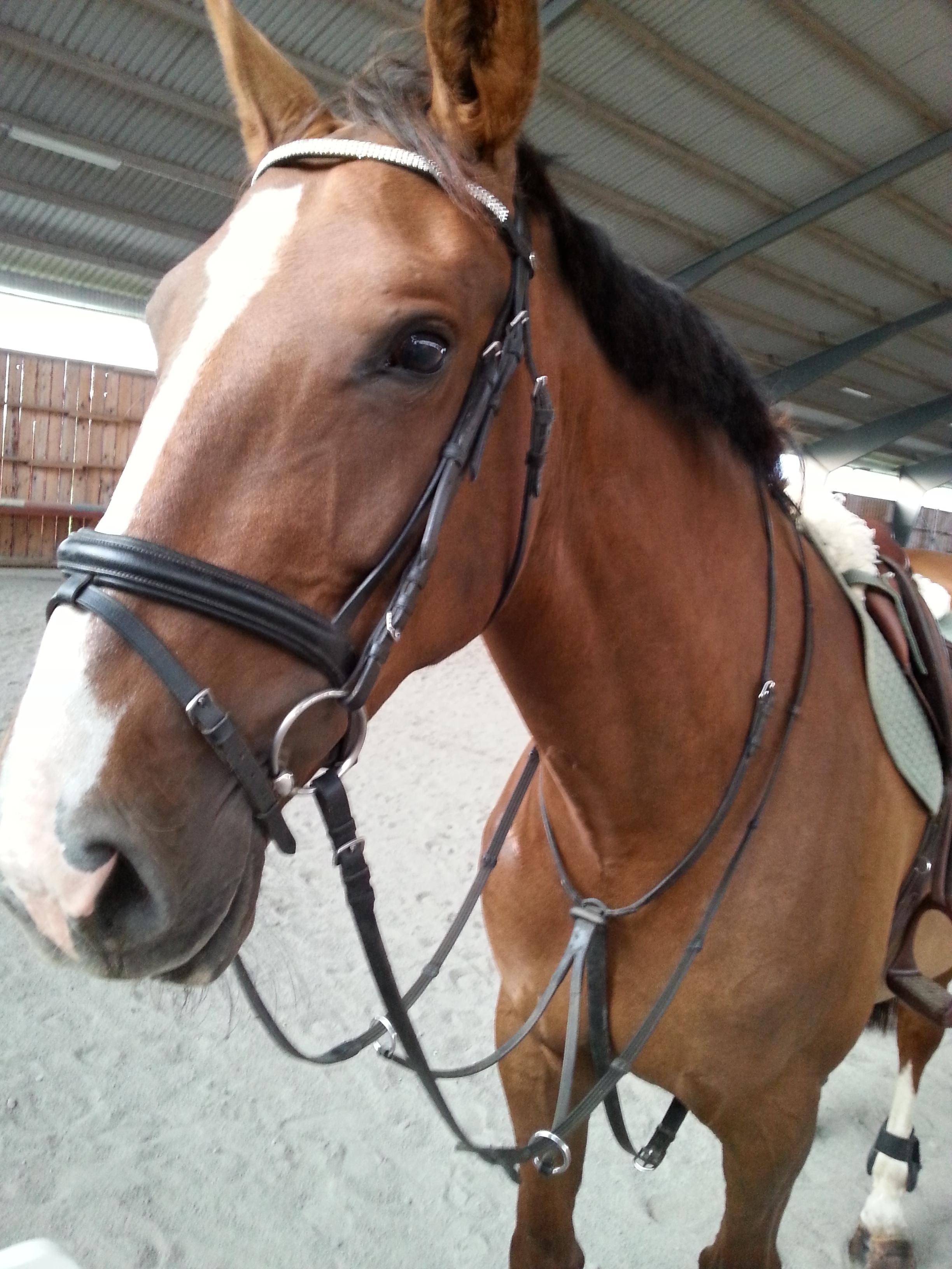 Hästen Dings i ridhuset