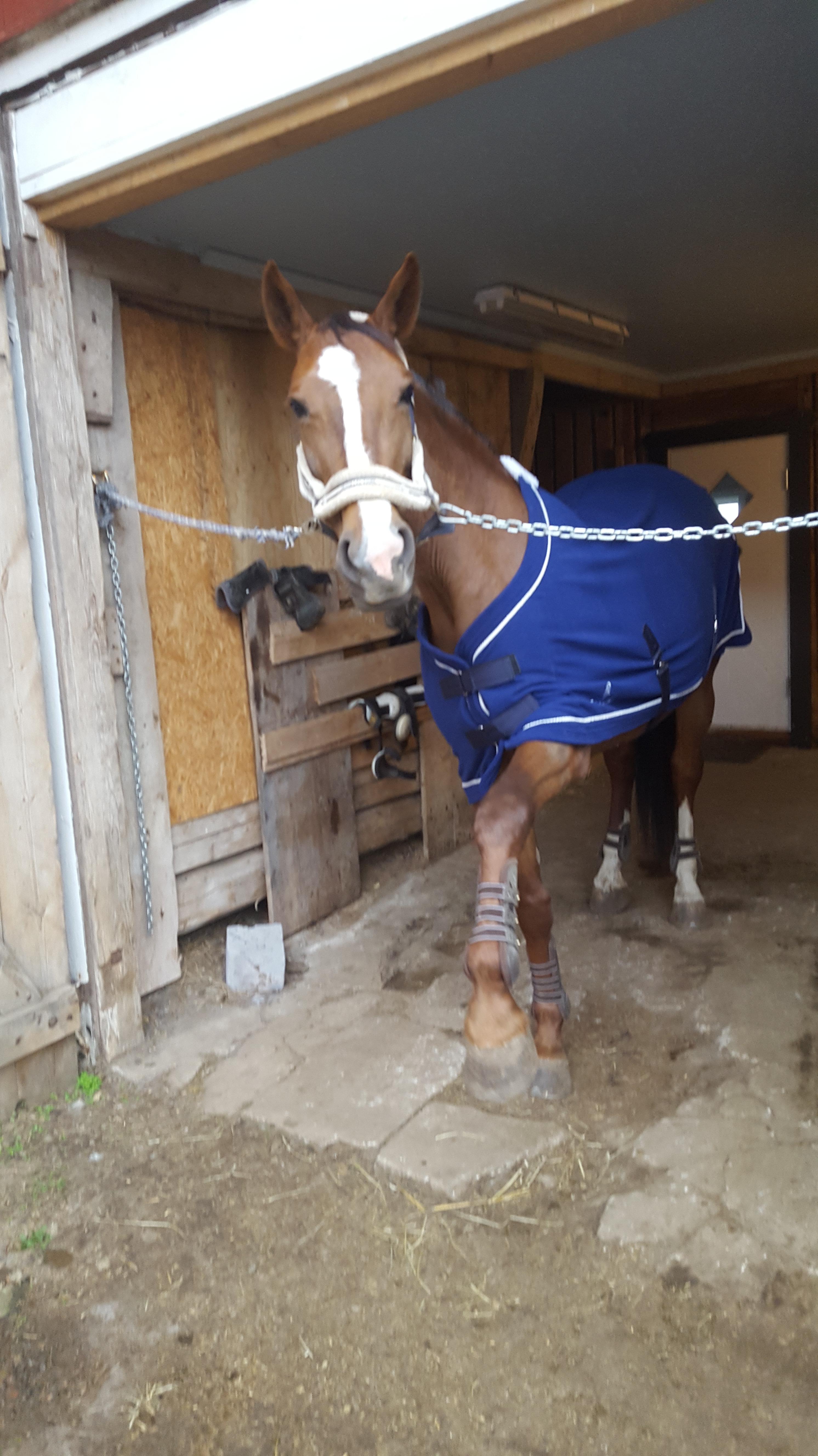 Hästen Dings är otålig på stallgången