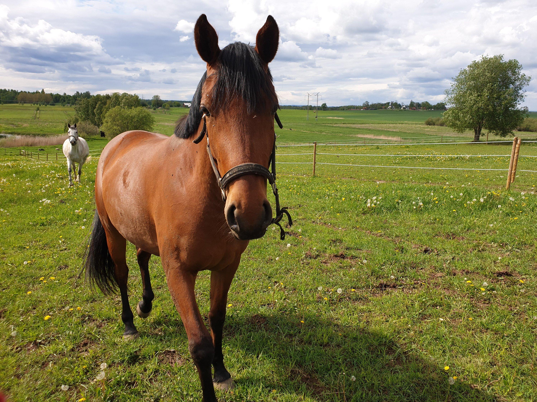 En brun häst går mot kameran