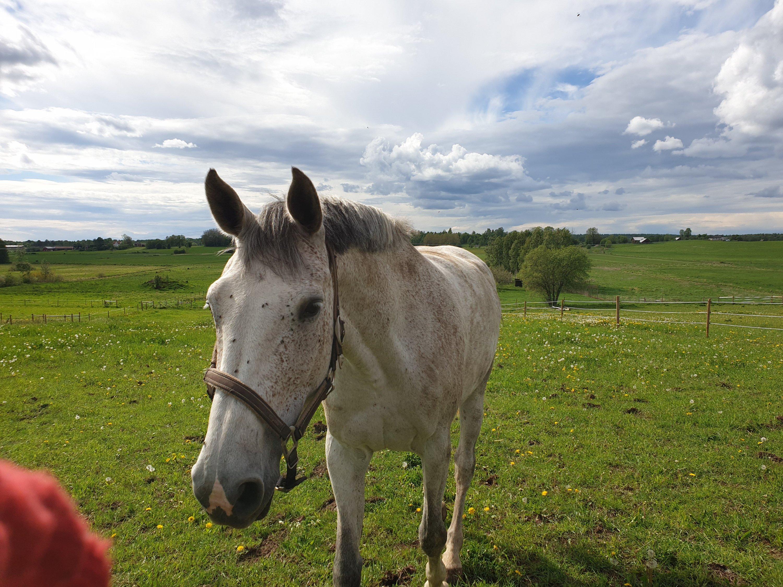 En grå häst går mot kameran