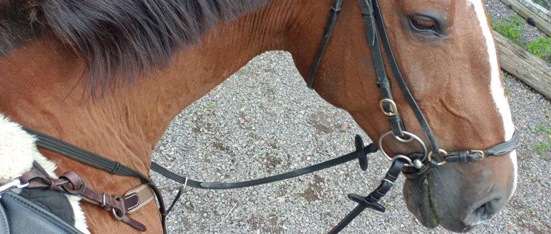 Hästen Dings tittar på sin ryttare