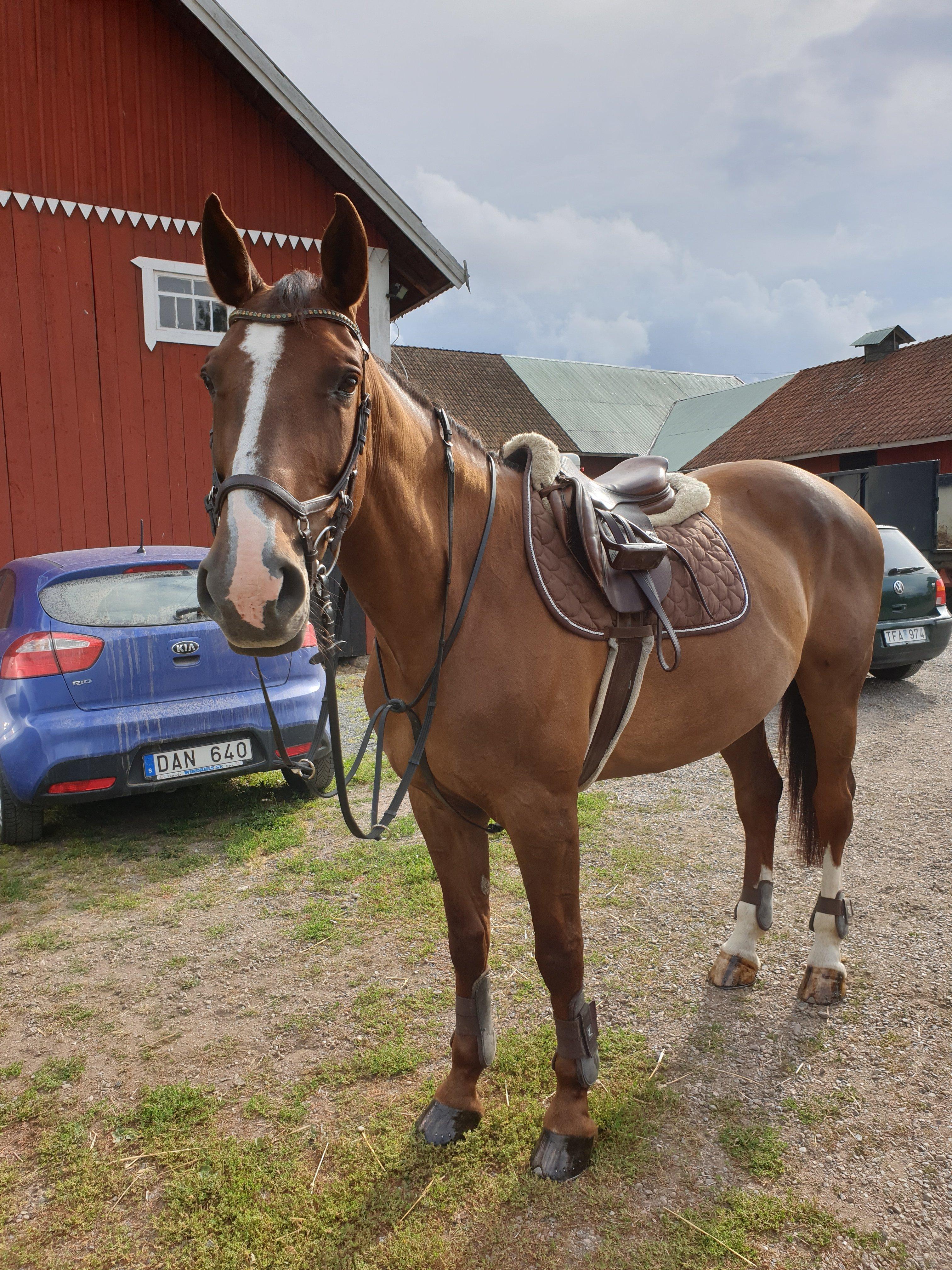 Häst med utrustning tittar på kameran